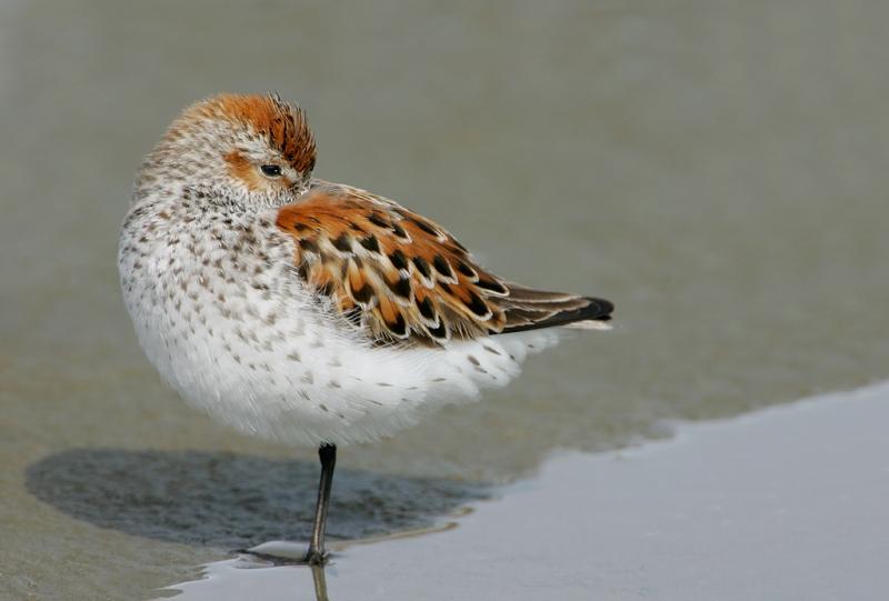 western-sandpiper-bright-breeding-2nd-bird-removed-plum-sleeping-_t9j9499-cordova-ak