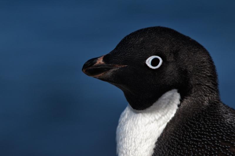 adelie-penguin-head-portrait-nr-surf-blur-bpn-_y9c8889-paulet-island-antarctica