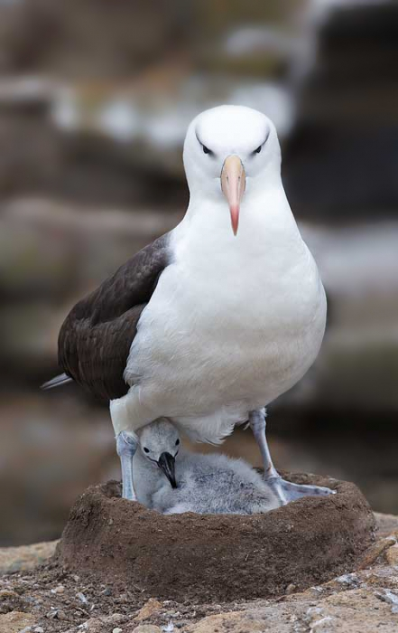 black-browed-albatross-bkgr-smoother-on-nest-with-chick-_w3c1192-new-island-falkland-islands