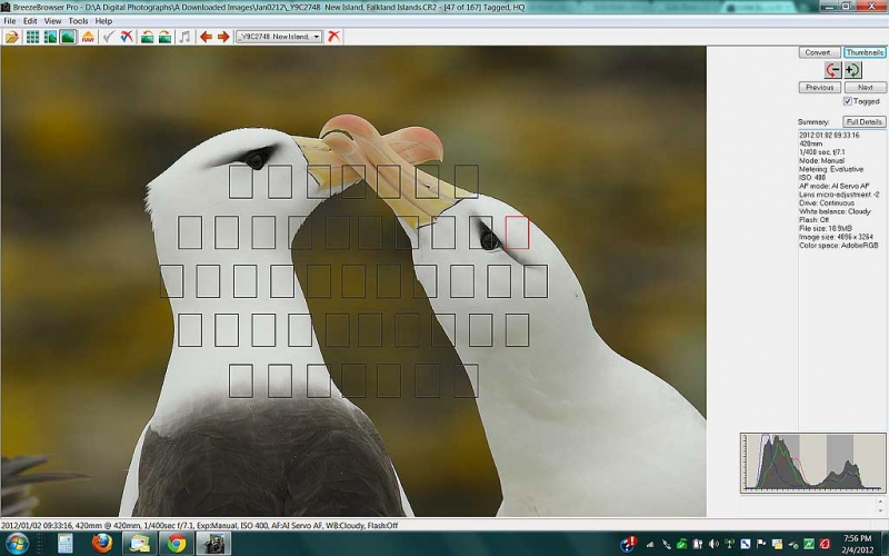 brbr-scr-cap-black-browed-albatross