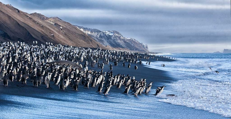 chinstrap-penguins-on-black-sand-beach-_mg_1342-bailey-head-deception-island-antarctica