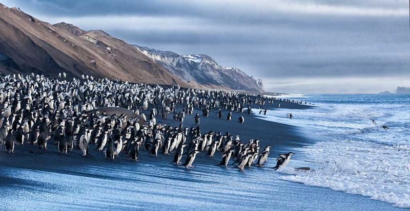 chinstrap-penguins-on-black-sand-beach-_mg_1342-bailey-head-deception-island-antarctica_1
