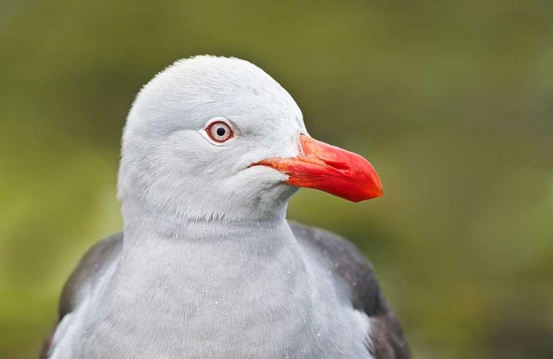 dolphin-gull-adult-_y9c2272-ushuaia-argentina