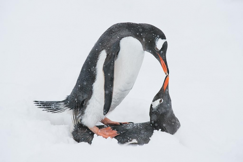 gentoo-penguins-mating-in-the-snow