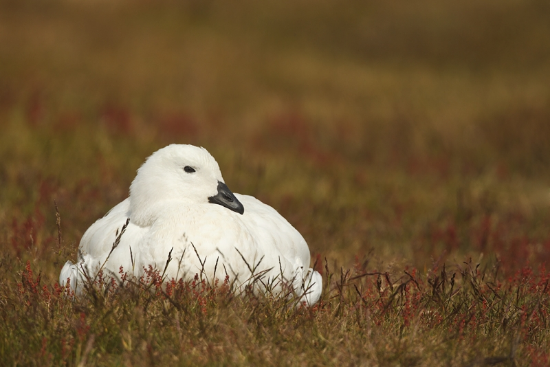kelp-goose-lounging-on-hillside-_y9c3547-west-point-falkland-islands_0