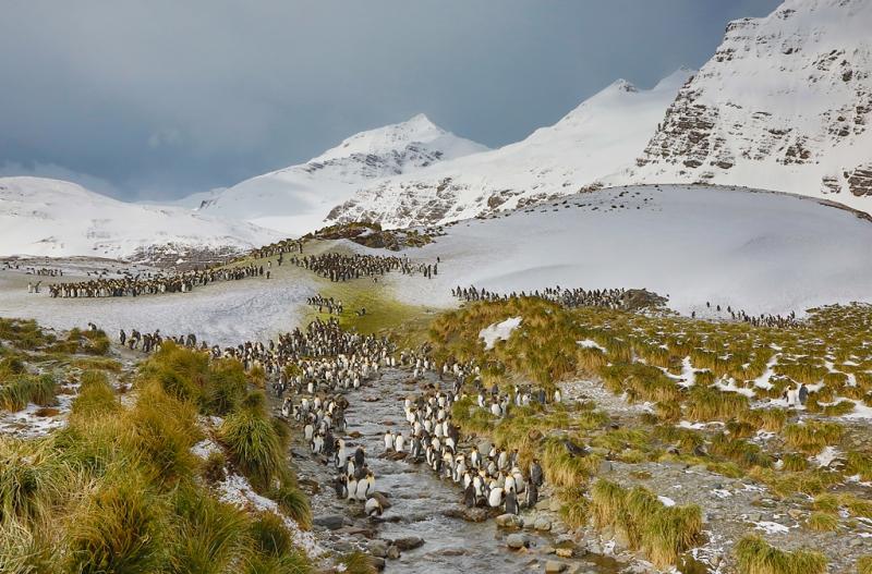 king-penguin-flocks-by-stream-_a1c0903-ample-bay-colony-salisbury-plain-south-georgia_0