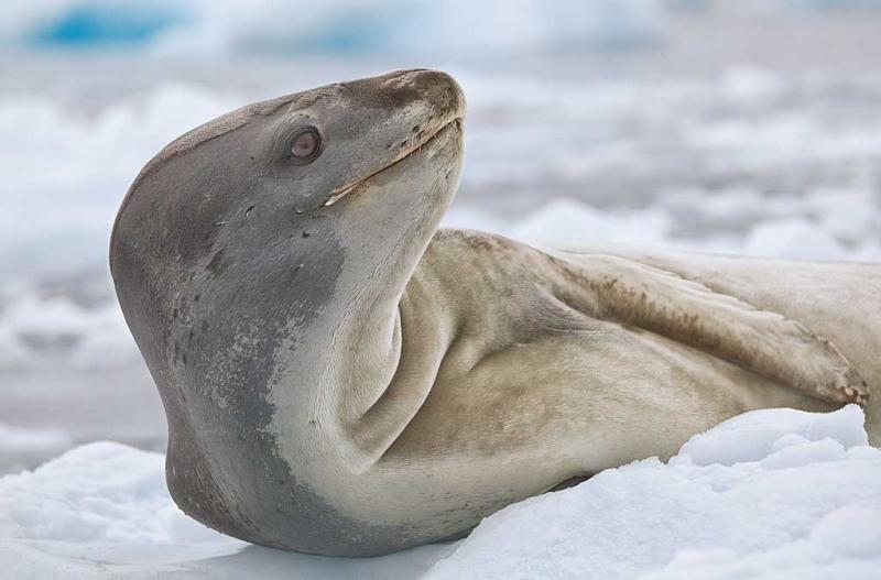 leopard-seal-lounging-on-iceberg-_mg_0331-cierva-cove-antarctica