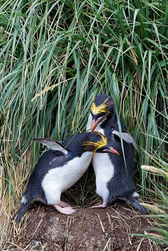 macaroni-penguin-pair-courtship-allo-preeining-_mg_7647-cooper-bay-south-georgia-southern-ocean