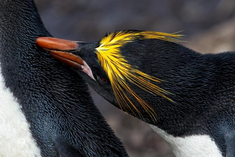 macaroni-penguin-preening-mate-bpn-_y9c6170-hercules-bay-south-georgia-southern-ocean_0