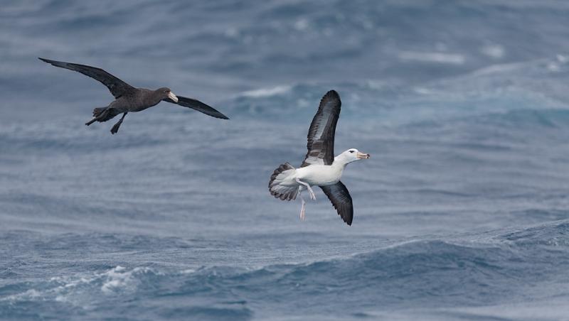 northern-giant-petrel-chasing-black-browed-albatross-_a1c6375-scotia-sea-south-atlantic-ocean