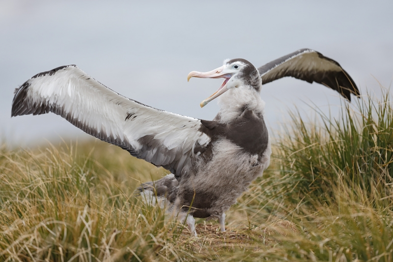 wandering-albatross-large-un-fledged-young-in-nest-_q8r9920-prion-island-south-georgia
