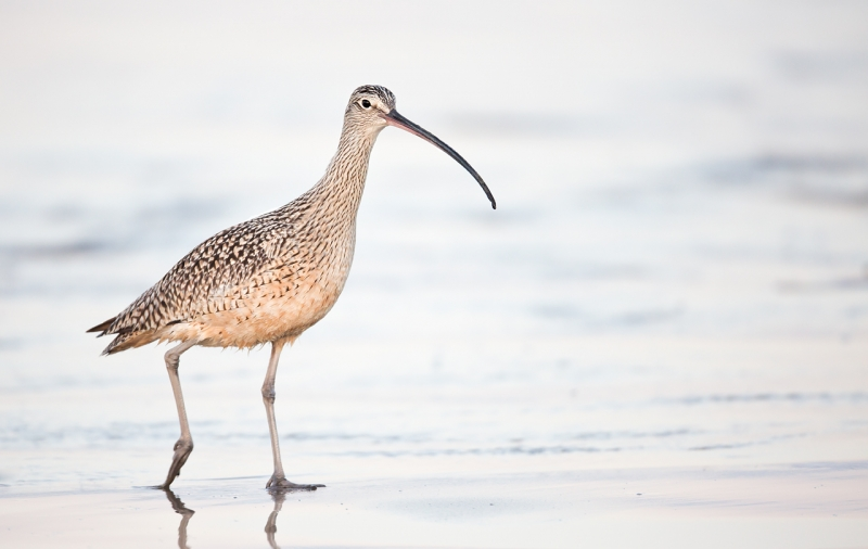 long-billed-curlew-iso-1600-5d-iii-ton-contr-80-_a1c1763-morro-bay-ca