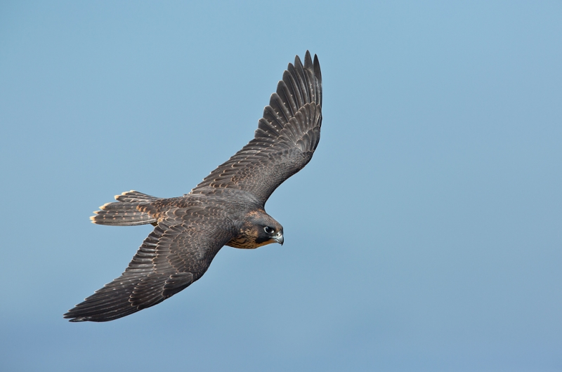 peregrine-falcon-juvenile-dorsal-view-flight-_a1c6917-torrey-pines-state-reserve-la-jolla-ca