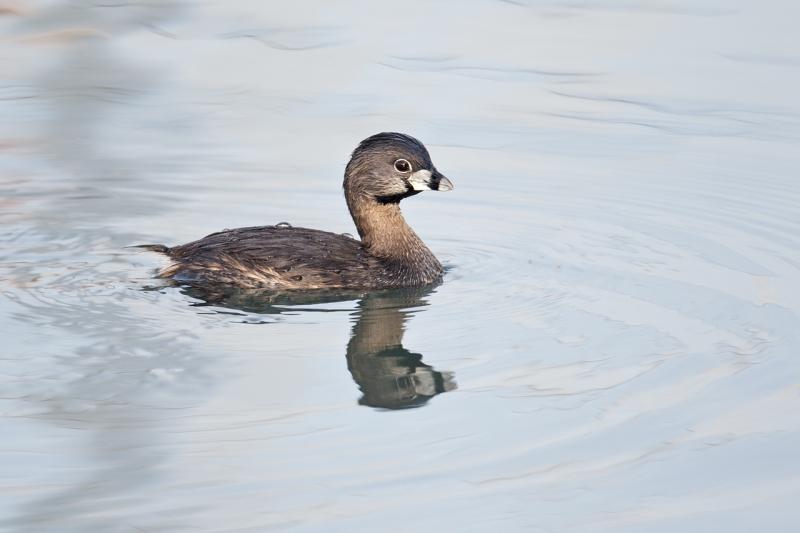 pied-billed-grebe-breeding-plumage-_y9c1405-morro-bay-ca