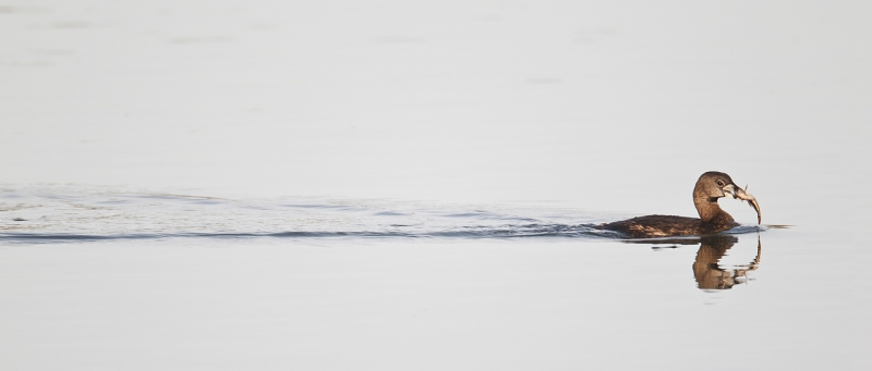pied-billed-grebe-with-fish-and-wake-_y9c1432-morro-bay-ca