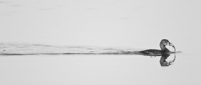 pied-billed-grebe-with-fish-and-wake-silver-efex-pro-neutral-_y9c1432-morro-bay-ca