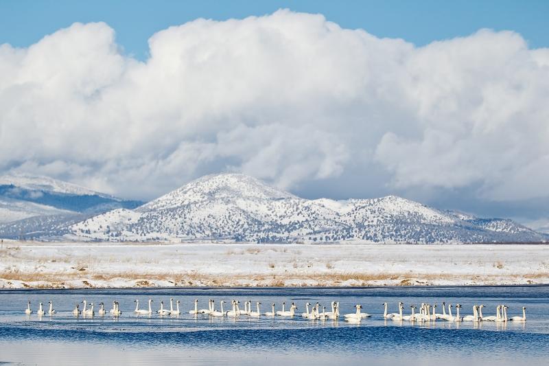 tundra-swans-in-pond-_y9c1965-lower-klamath-nwr-ca