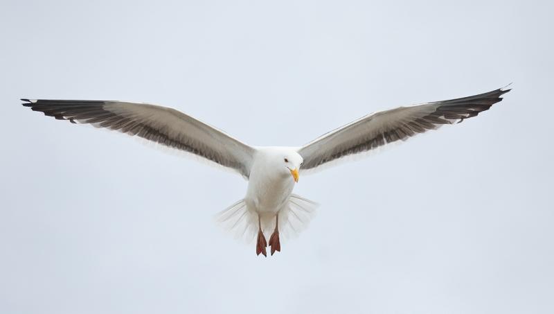 western-gull-hovering-70-200-5d-iii-_a1c2821-morro-bay-ca