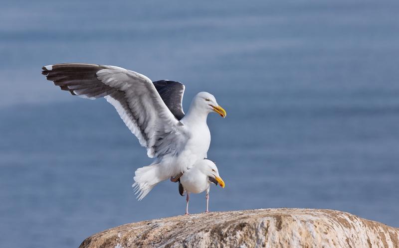 western-gull-pre-copulatory-stand-_a1c7010-la-jolla-ca