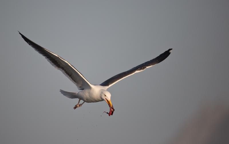 western-gull-with-bloody-prey-item-_a1c3159-morro-bay-ca