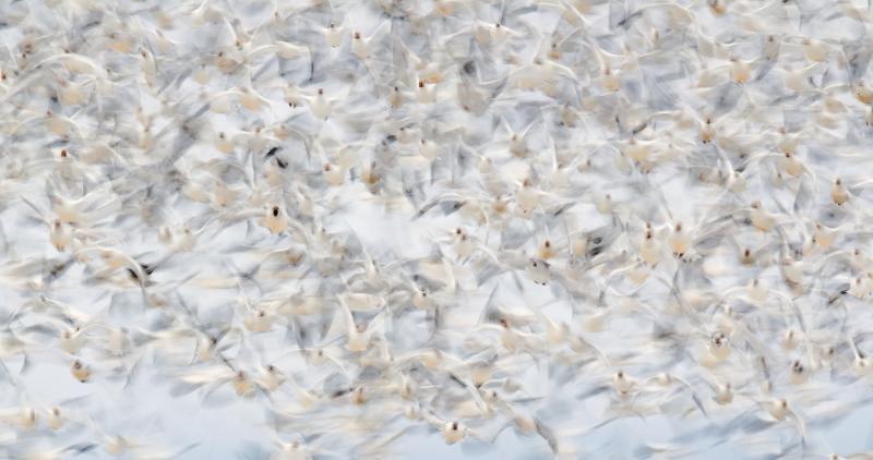 white-geese-blast-1400-off-1-20-seec-_w3c3415-lower-klamath-nwr-ca