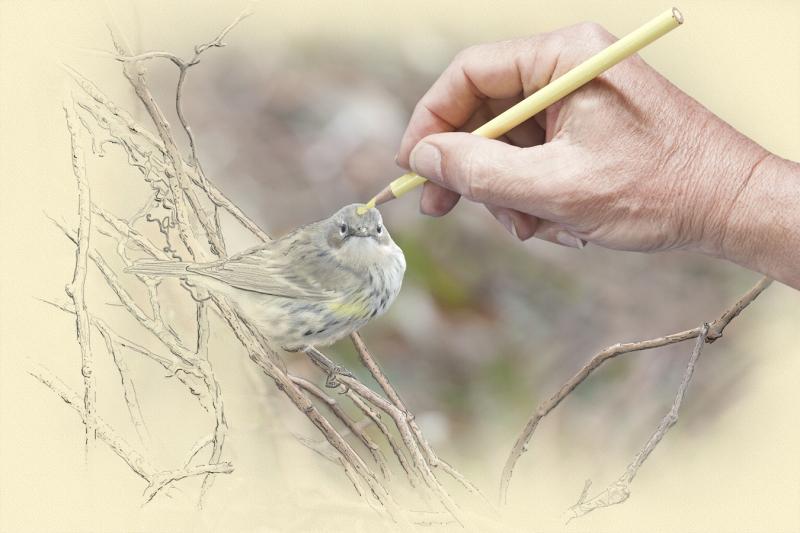 digital-jeff-l-rugg-yr-warbler-drawing-01