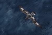 blurs_paul-mckenzie-capepetrel-southernocean