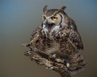 captive_cherihollis-owl-az-1dx6139
