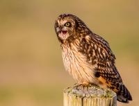 captive_doug-schurman-short-eared-owl-wa-6684