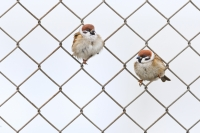 captive_vincent_de_jong-eurasian_tree_sparrow-netherlands-x5d6985
