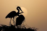 digital_michael_libbe_great_blue_heron_nest_florida