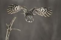 flight_pierre-giard_great-grey-owl-laval-quebec-2