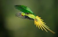 flight_vladimir-michael-kogan_rose-ringed-parakeet_israel_d3v7655