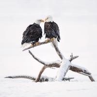 portrait_jory_griesman_bald_eagle_pair_chilkat