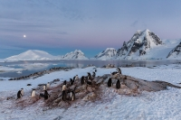 small_clemens-vanderwerf-gentoo-penguins-resting-for-the-night_s6a0096-petermann-island-antarctica