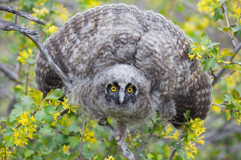Long-eared Owl 0615