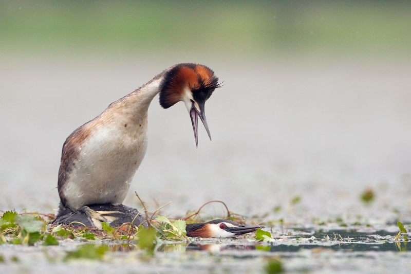 Great Crested Grebes mating