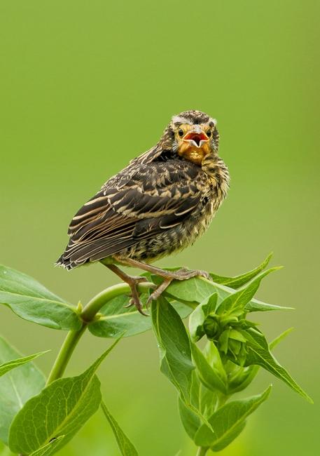 Fledgling Red-winged blackbird