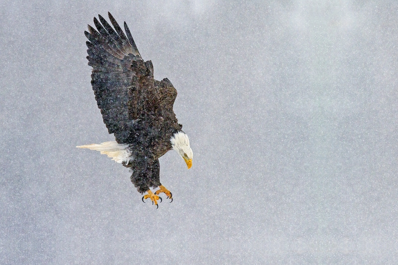 Pygargue adulte en vol dans la neige tombante