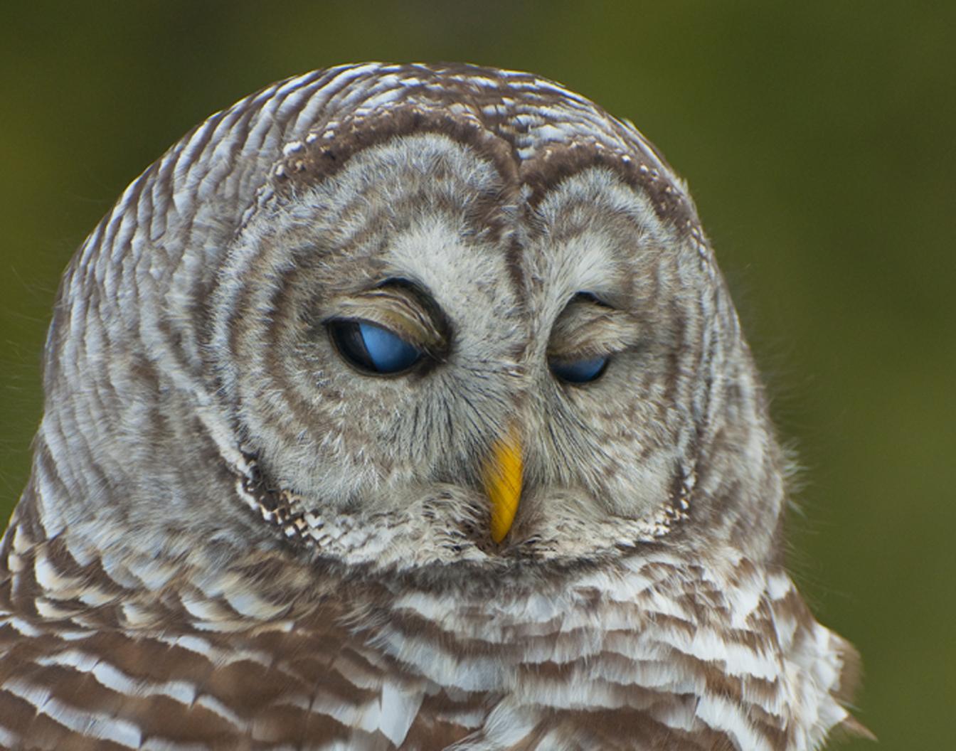 историю фото сонной совы самом деле, раскармливая