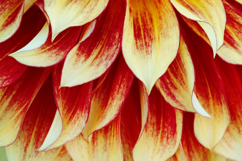 dahlia-spary-of-petals-_a1c0171-swan-island-dahlia-farm-canby-or