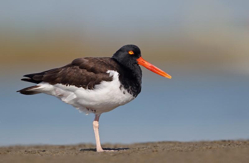 american-oystercatcher-adult-_y9c1339-little-estero-lagoon-fort-myers-beach-fl