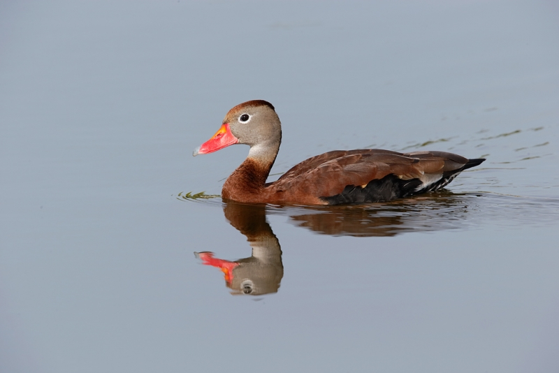 black-bellied-whistling-duck-swimming-_09u1635-venice-rookery-south-venice-fl