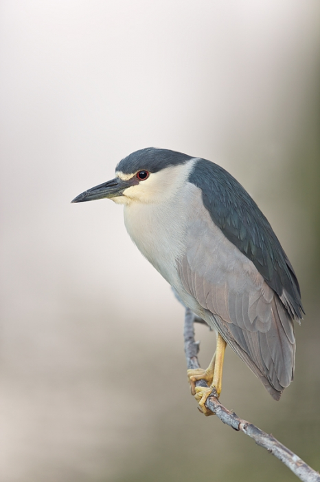 black-crowned-night-heron-600mm-1-60-sec-bluer-_09u1323-venice-rookery-south-venice-fl