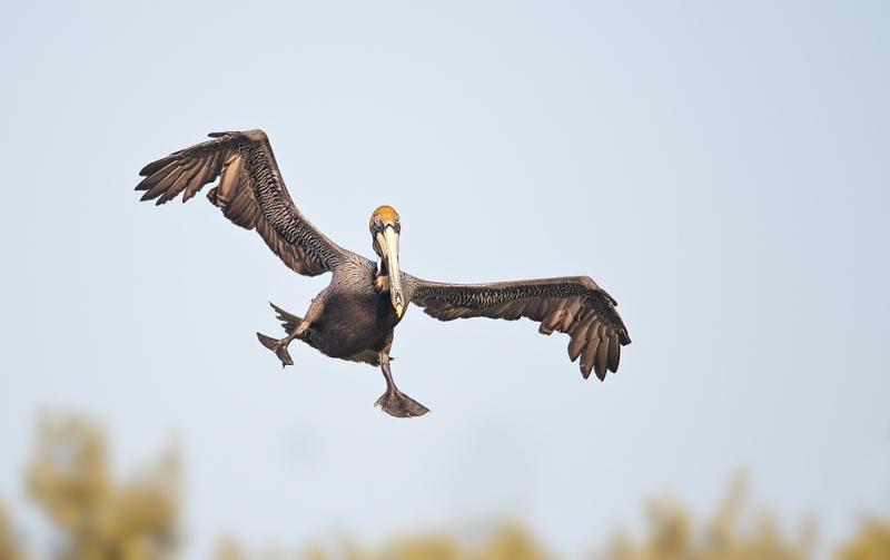 brown-pelican-gear-down-landing-_w3c3113-alafia-banks-tampa-bay-fl
