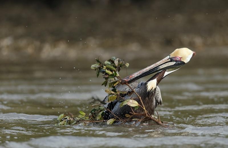brown-pelican-struggling-with-nesting-material-_09u2338-alafia-banks-tampa-bay-fl