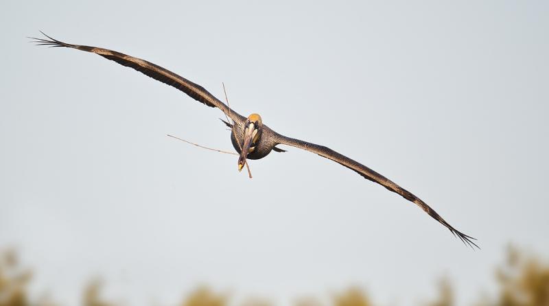 brown-pelican-w-nesting-material-_w3c3024-alafia-banks-tampa-bay-fl