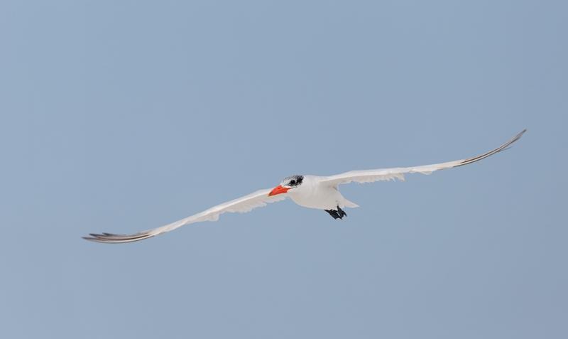 caspian-tern-winter-plumage-_q8r5085-fort-desoto-park-st-petersburg-fl