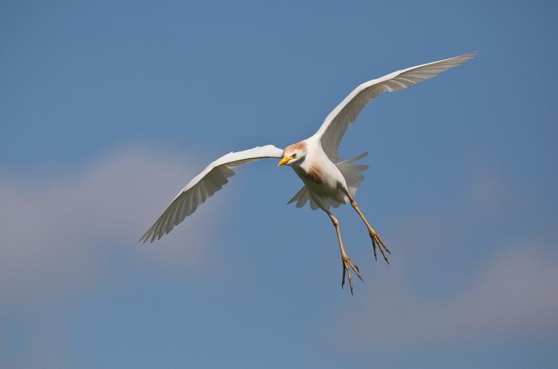 cattle-egret-ready-to-land-_u1c0571-gatorland-kissimmee-fl