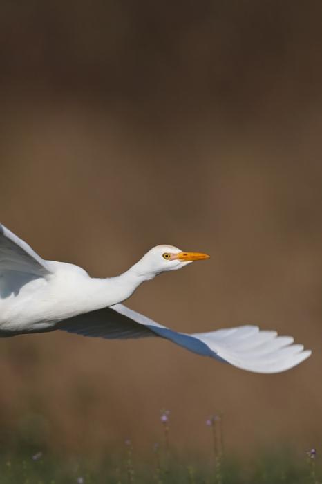 cattle-egret-vertical-flight-_y9c9687-indian-lake-estates-fl